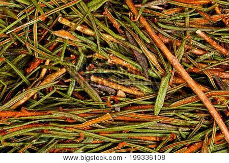 Marsh Northern Labrador Tea Ledum palustre . Hi res photo.