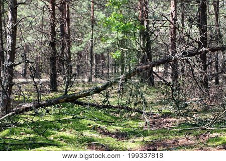 Fallen dry pine in the forest. Tree lies in moss woods. Nature plants wallpaper background.