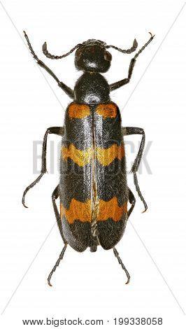 Yellow Meloid Beetle on white Background - Mylabris variabilis (Pallas 1781)