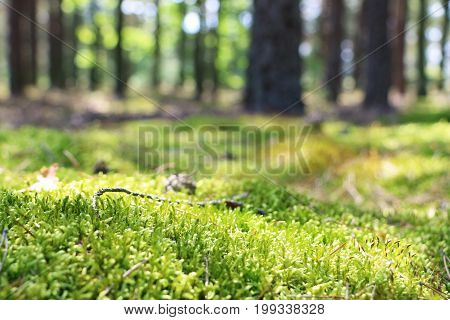 Woods moss close-up. Blurred forest on background. Nature plants wallpaper
