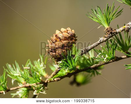 larix kaempferi carriere, pinaceae, tree branch in the middle of the snapshot with one brown little cone,  close-up, light brown background, thin green leaves grow in bunches,