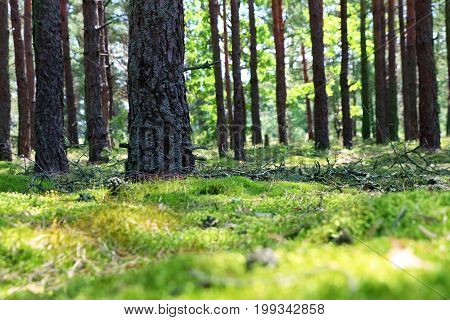 Woods pine trunk and blurred moss. Blurred forest on background. Nature plants wallpaper