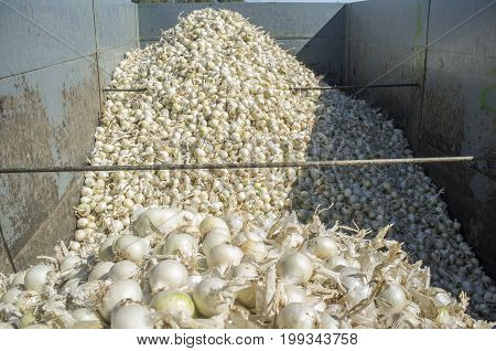 Trailer with white onions at harvest time. Badajoz Spain