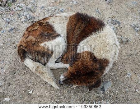 An abandoned dog sleeping on rural road in Thimphu Bhutan.