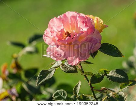 rose flower grade aquarell, large flowers of iridescent pink and peach-yellow hues, growing in the garden in the summer, illuminated by sunlight, in the background a green blurred grass on the lawn,