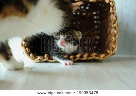 Careful mother for little kittens.A small, fluffy kitten. Lovely creature. Beauty