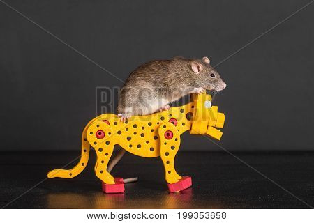brown domestic rat riding on toy leopard