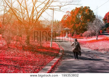 Woman on the road in Red autumn maple in nature with sun light soft burr low clarity lonely concept autumn concept