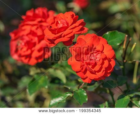 rose flower grade trumpeter, orange-scarlet cupped flowers, summer, lit by the sun, grow in the garden, against the background of the foliage of the plant,