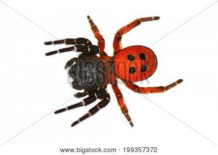 ladybird spider (eresus cinnaberinus) isolated on white background