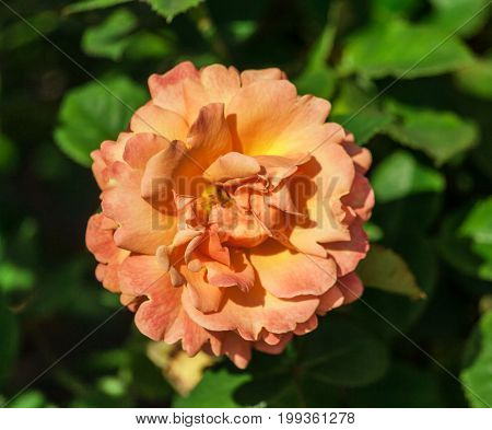 rose flower grade easy does it, one large flower, orange-peach hue, the plant is lit by the sun, growing in the garden in summer, close-up, against the background of green foliage of the plant,