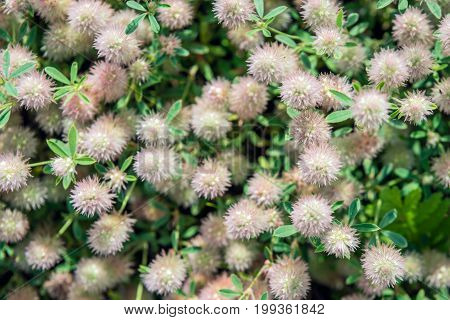 Closeup of flowering Rabbitfoot clover or Trifolium arvense in Birds eye view on a sunny day in the Dutch summer season.