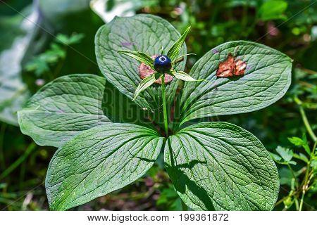 Poisonous plant Raven's eye four-leaf (lat. (Paris quadrifolia) family Melentieva (Melanthiaceae). Close-up of a plant with fruit