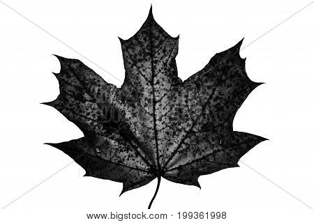 Spiked maple leaf illuminated from behind in B&W