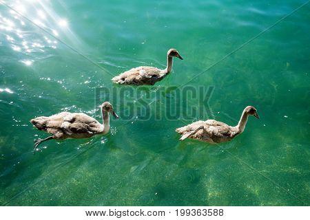 swan familiy at lake zurich in switzerland summertime white