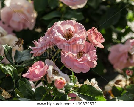 rose flower grade professor sieber, medium-sized flowers of light pink color, green foliage glitters in the sun, a bunch with several flowers in full bloom,