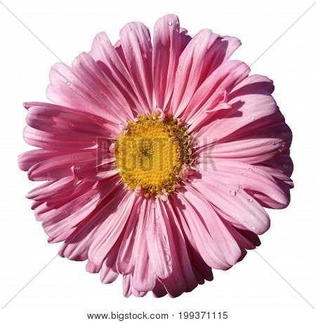 Flower pink Chamomile on white isolated background with clipping path. Daisy pink-yellow with droplets of water for design. Closeup. Nature.
