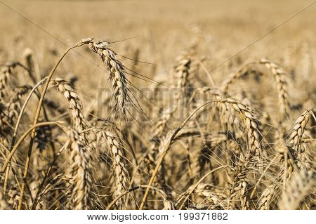 Ripe wheat locusta in the field. Close up photo of bread-corn or rye pikelets under the summer sun