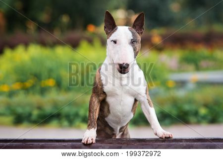 beautiful english bull terrier dog posing on a bench