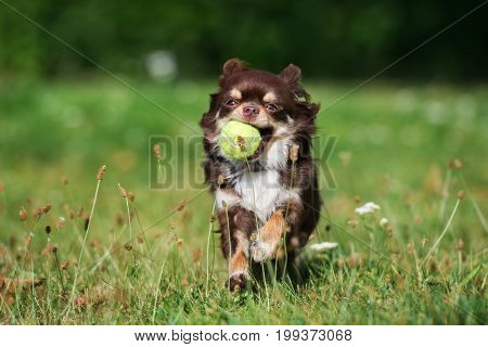 happy chihuahua dog running on grass with a tennis ball