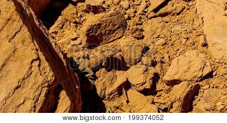 The Common Side Blotched Lizard or Uta Stansburiana in Arches National Park Moab Utah