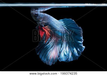 blue siamese fighting fish betta splendens isolated on black background it is popular as an aquarium fish