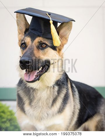 A German Shepherd dog wearing a graduation cap.