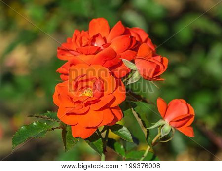 rose flower grade spath s jubilaum, orange-salmon blossoms in inflorescences, bright red scarlet, leaves dark green, background of foliage plants, sunlight, summer day, close-up, two half-opened bud,