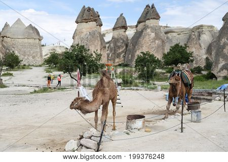 NEVSEHIR TURKEY - JUNE 14 2017: Camels are waiting for tour in Pasabag Valley Cappadocia.