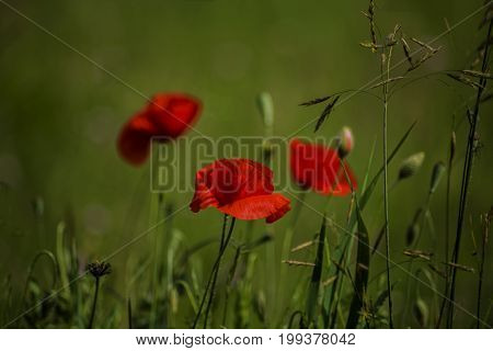 Poppies on the meadow in Color in Germany