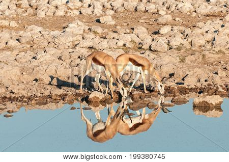 Two springboks (Antidorcas marsupialis) with reflections drinking water at a waterhole in Northern Namibia