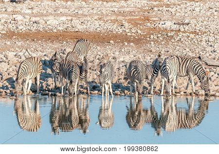 A herd of Burchells Zebras (Equus quagga burchellii) with reflections drinking water at a waterhole in Northern Namibia