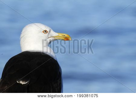 Adult Lesser Black-backed Gull, Larus fuscus, in Seurasaari Island in Helsinki, Finland.