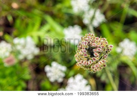 Closeup of the colorful seed head of a wild carrot or Daucus carota growing in the wild nature. The fruit cluster with the seeds contains oval fruits with hooked spines.