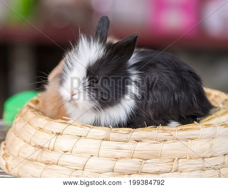 black cute lop rabbit sitting in the basket