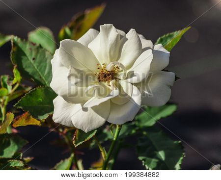 rose flower grade edelweiss, one snow-white, with a yellow  spot in the center, foliage of medium size, dark and shiny, fully opened in bloom, sunlight, summer day,