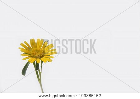 Meadow yellow flower closeup on white background