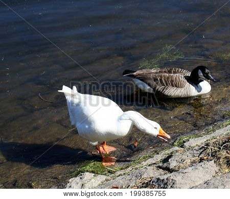 Goose and Duck in Burrator reservoir Dartmoor