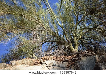 tree with roots growing into cliffs, desert