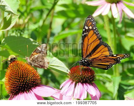Junonia coenia and Monarch butterfly in garden on bank of the Lake Ontario in Toronto Canada August 8 2017