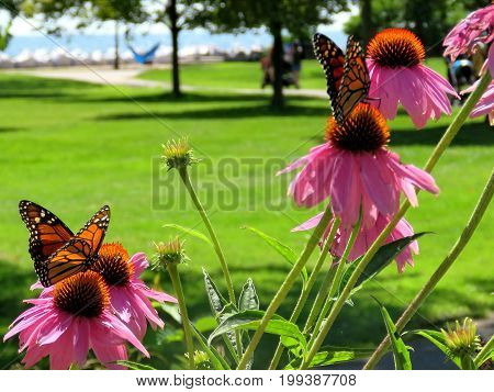 Monarch butterflies in garden on bank of the Lake Ontario in Toronto Canada August 8 2017