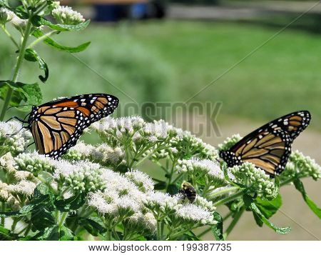 Monarch butterflies on a white flower in garden on bank of the Lake Ontario in Toronto Canada August 8 2017