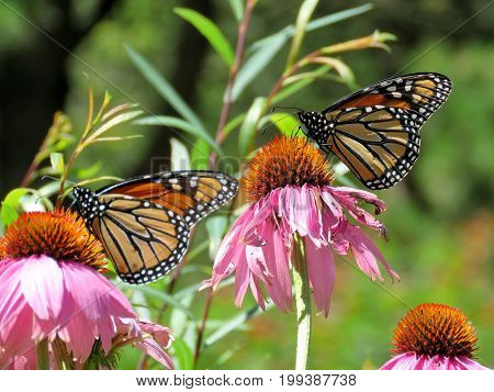 Monarch butterflies on the flowers in garden on bank of the Lake Ontario in Toronto Canada August 8 2017