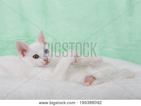 Portrait of a cute white kitten with heterochromia odd eyes laying on an off white sheepskin blanket playing with her feet mint green textured background
