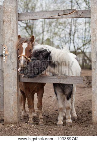 Two Cute Ponies