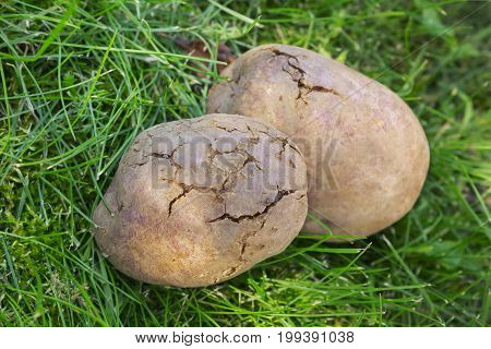 Potato Tubers Infected With Bacterial Decay Lie On The Lawn