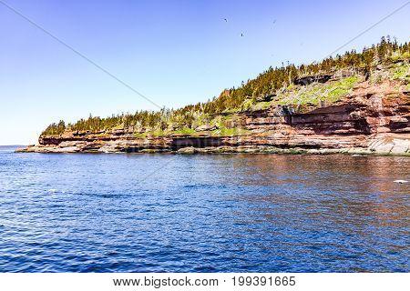 Flock Of Gannet Flying By Green Bonaventure Island Cliff In Perce, Gaspesie, Gaspe Region Of Quebec,