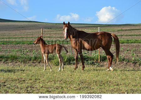 stud farm ,Arabic horse ,  horse race , Horse and baby, colt, farm,  stud farm , stud farm