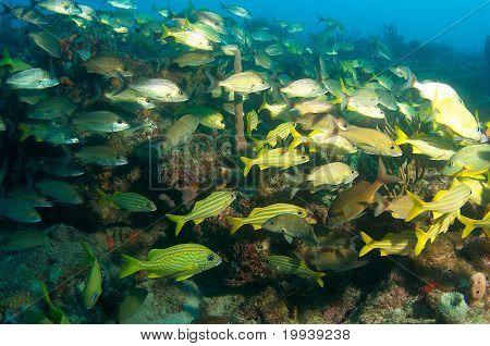 Schooling Grunt Fish