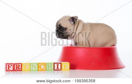 cute french bulldog puppy in a food bowl on white background